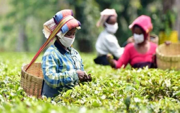 Tea-garden workers pluck tea leaves at an estate in Assam (Image credit: ThePrint)